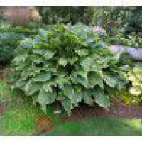 Hosta ' Abba Dabba Do' – Funkia