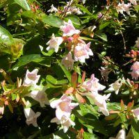 Abelia grandiflora – Abelia wielkokwiatowa