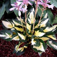 Hosta Eternal Flame