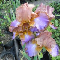 Iris germanica 'Grappe Expectations'