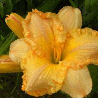 Hemerocallis 'Alexandra'