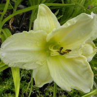 Hemerocallis 'Gentle Shepard'
