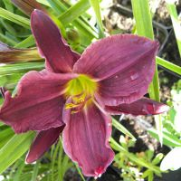 Hemerocallis 'Grape Velvet'