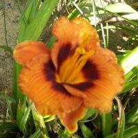 Hemerocallis 'Madeline Nettles Eyes'