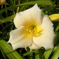 Hemerocallis 'Mini Pearl'