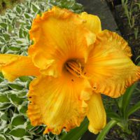 Hemerocallis 'Orange Nassau'