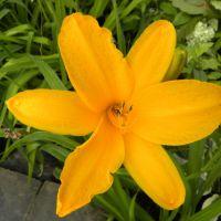 Hemerocallis 'Norton Orange'