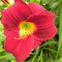 Hemerocallis 'Longsfield Red Baron'