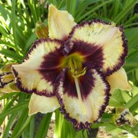 Hemerocallis 'Open My Eyes'