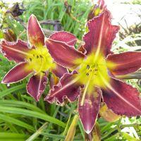 Hemerocallis 'Royal Thornbird'