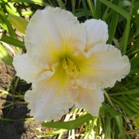 Hemerocallis 'Fairy Tale Pink'