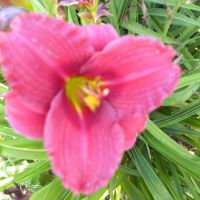 Hemerocallis 'Siloam Red Toy'