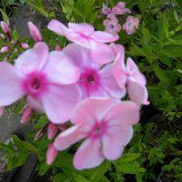 Phlox paniculata 'Compact Rose'