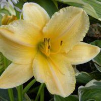 Hemerocallis 'Summer Splendor'