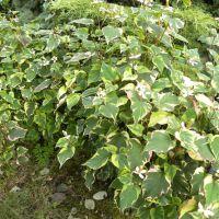 Houttuynia cordata 'Chameleon' – Pstrolistka sercowata
