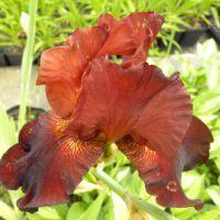 Iris germanica 'Cayenne Pepper'