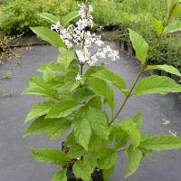 Syringa josikaea – Lilak węgierski
