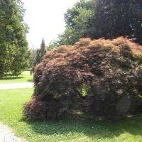 Acer palmatum   '  Garnet'