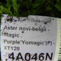Aster novi-belgii - Magic