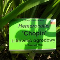 Hemerocallis 'Chopin'