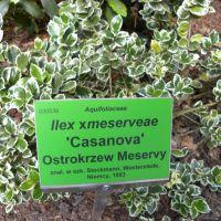 Ilex xmeserveae 'Casanova'
