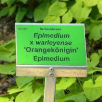 Epimedium x warleyense 'Orangekönigin'