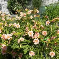 Hemerocallis 'EveryDaylily Rose'
