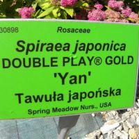 Spirea japonica 'Yan'