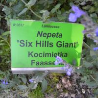 Nepeta 'Six Hills Giant'