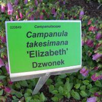 Campanula takesimana 'Elizabeth' - Dzwonek