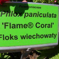 Phlox paniculata 'Flame Coral'