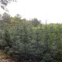 Abies amabilis - Jodła wonna