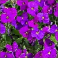 Aubierta cultorum Axcent Deep Purple - Żagwin ogrodowy