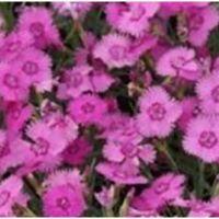Dianthus plumarius Dixe Pink - Gożdzik postrzępiony