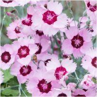 Dianthus plumarius Red Rose Bicolor - Gożdzik postrzępiony