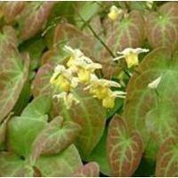 Epimedium versicolor Sulphureum - różnobarwne