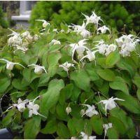Epimedium White hakubai Heart