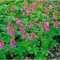 Geranium cantabrigiense Cambridge - Bodziszek kantabryjski