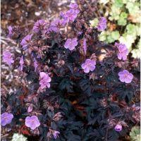 Geranium pratense Midnight Reiter - Bodziszek łąkowy