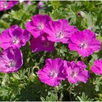 Geranium sanguineum Vinson Violet - Bodziszek czerwony