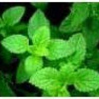 Mentha spicata Mojito - Mięta kłosowa