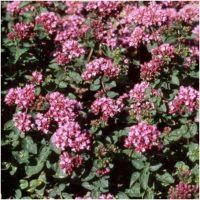 Origanum vulgare Rosenkuppel - Lebiodka pospolita