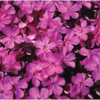 Trot subulata Pink - szydlasty