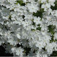 Phlox subulata Flox White Delight - szydlasty