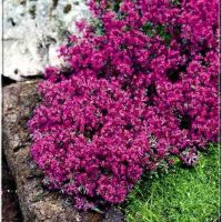 Thymus praecox Red Carpet - Macierzanka zwyczajna