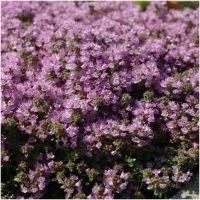 Thymus serphyllum Coccineus - Macierzanka piaskowa