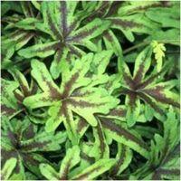 Tiarella cordiflora Pirate's Path - sercolistna
